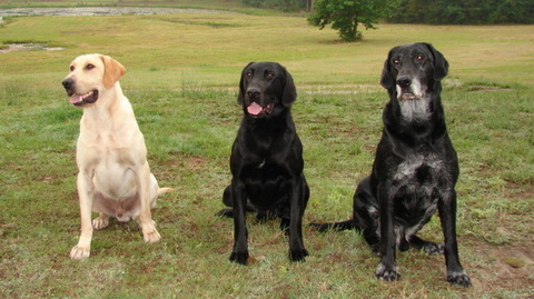 Three adult Labrador retrievers