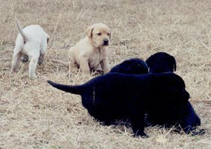 Labrador Retriever puppies at Twin Lakes Kennel