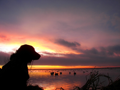 Labrador retriever at sunset
