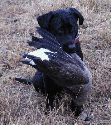 Labrador retriever Kudo & goose