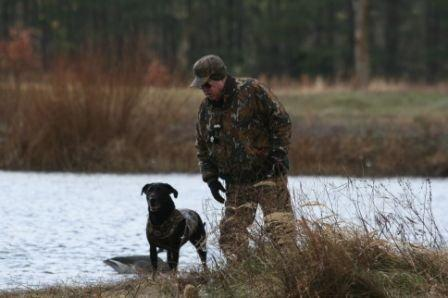Labrador retriever on hunt