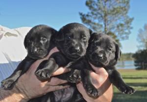 3 Week old puppies