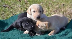 3-amigos-pups