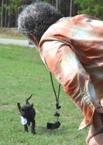Bringing It Home With Style, Labrador Retriever puppy training