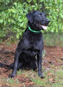 "Black Labrador retriever Twin Lakes ""Clicker"""
