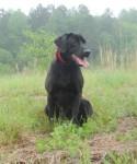 """Black Labrador retriever """"Sharpie"""""""