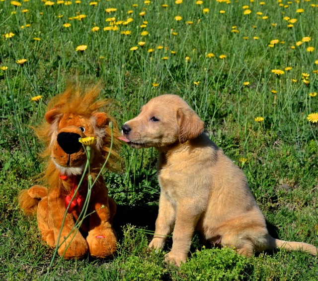 "A ""Dandy"" and a Lion In the Dandelions"