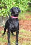 "Black Labrador retriever ""Etta"""