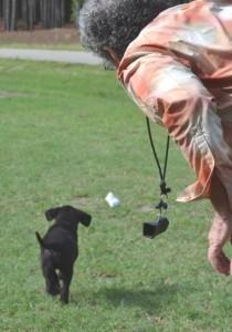 First Retrieve, Labrador Retriever puppy training