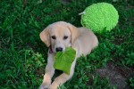 Ginny, Labrador Retriever puppy testimonial from happy owners for Twin Lakes Kennel