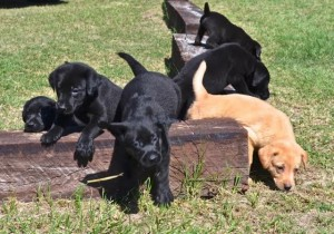 life is about overcoming obstacles, Woody Thurman, Labrador Retriever puppies for sale