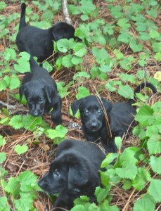 Obi and Martha Labrador Retriever puppies at six weeks old, Labrador Retriever puppies for sale