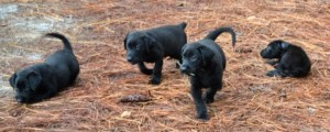 Obi and Martha Labrador Retriever puppies at six weeks old, Labrador Retreiver puppies for sale