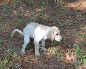 step 3 of House Training Labrador Retriever Puppy Step 1, Twin Lakes Kennel, Woody Thurman, Training Labrador Retriever Puppies