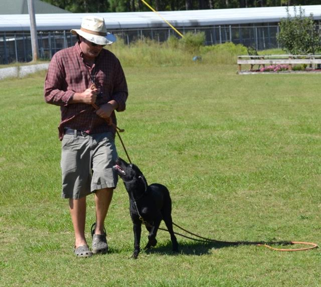 The Volunteer Heel, labrador retriever training tips